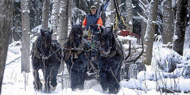 Här röjer nordsvenska brukshästar upp i känsliga skogsmarker