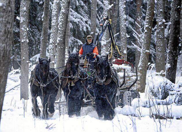 Det är en mäktig syn när hästarna Häck, Ejmer och Hägg drar sina timmerlass genom skogen vid Sommarhagen.