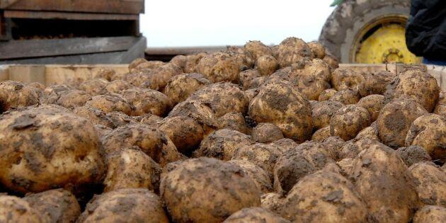 Mindre potatisskörd drabbar enskilda hårt