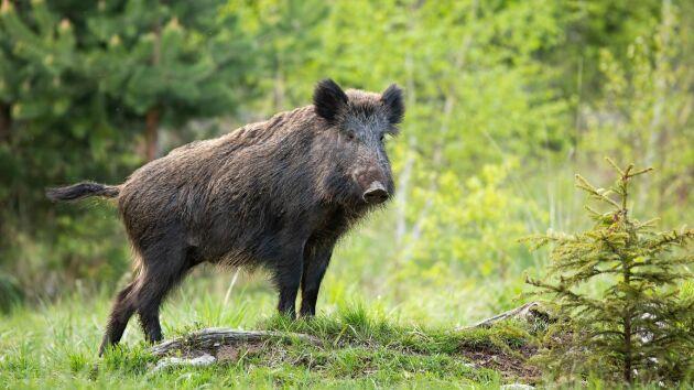 Vildsvinens framfart i skogen allt mer besvärande, anser Land Skogsbruks ledarskribent.