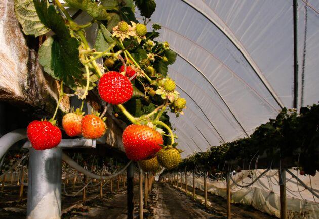 På Orelund odlas det jordgubbar, hallon, tomater, gurkor, äpplen, päron, plommon och körsbär.