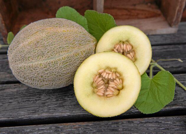 Skäm bort dig med melon. Den här är en cantaloupemelon från 1840-talet.