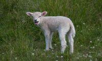 Elförbud efter otillräcklig lammbedövning