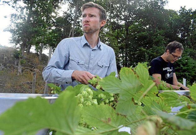 Erik Råberg är imponerad av mängden humle redan under andra årets skörd.