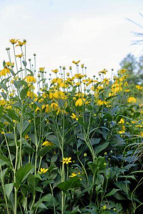 'Herbstsonne' är en hybrid av höstrudbeckia och äger dess mäktighet när den blommar två meter över marken.