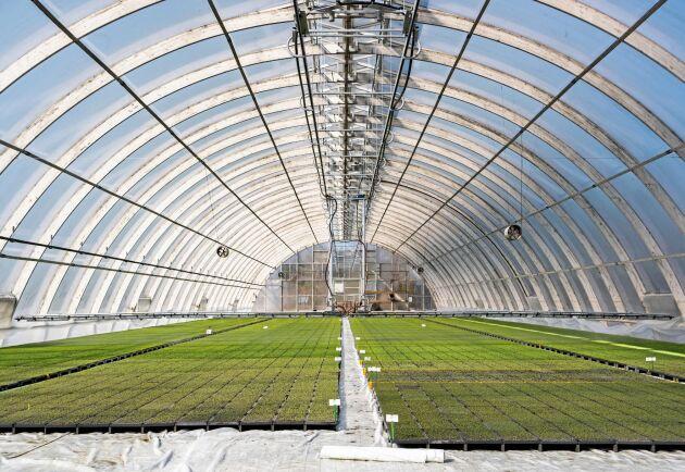 Hel skog. I ett enda växthus ryms numera sex miljoner mikroplantor, jämfört med omkring en miljon med det tidigare arbetssättet.