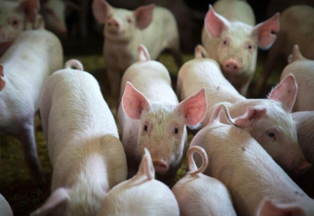 Kina behöver importera mycket griskött de närmaste åren. Arkivbild.
