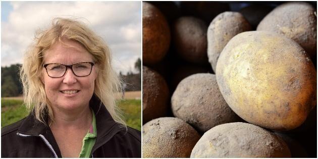 Nervös väntan för potatisodlare