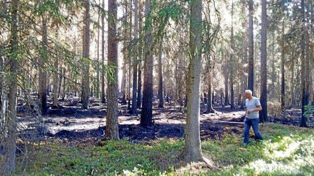 Lars-Uno Juhlin undersöker sin skog efter branden för drygt en vecka sedan. Det nedbrända området ligger precis utanför hans mark.
