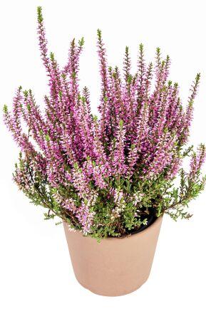Ljung, Calluna vulgaris, är en klassiker i höstkrukan. Foto: IBL