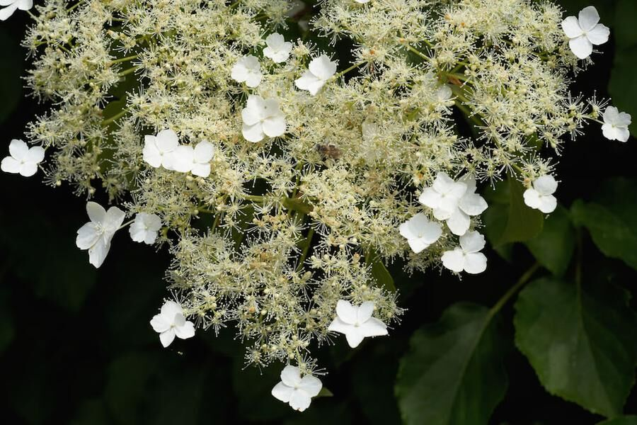 Snyggt lockbete. De större blommorna har ingen nektar. De lurar dit insekterna, de riktiga blommorna är de pyttesmå i mitten. Foto. IBL