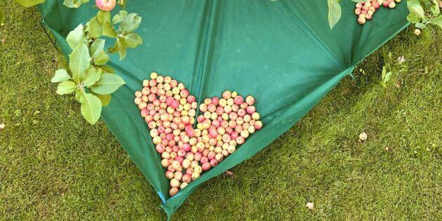 Smarta skördenätet som räddar både fallfrukten och gräsmattan