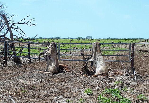 Närliggande gårdars boskap sköljdes ner till Channel Downs Station. Boskapen som fastnade i staket och träd kom från en gård 30 kilometer bort.