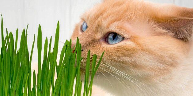 Gå inte på den dyra kattgräsbluffen!