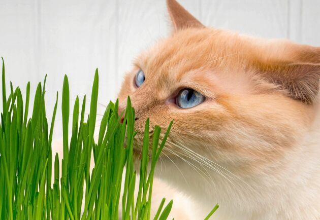 Mums. Katter vill ha gräs att knapra på. Fibrer som rensar magen.