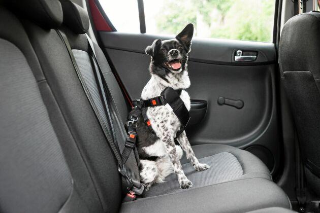 Hund i baksätet i bilen går bra om den sitter fastspänd i en sele som går att koppla till säkerhetsbältet (eller i bur). Välj en krocktestad bilsele!