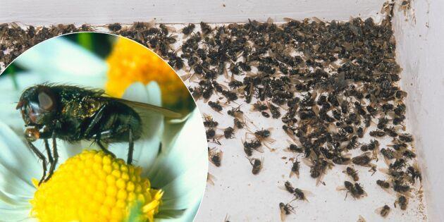 Därför får du flugor inne mitt i vintern