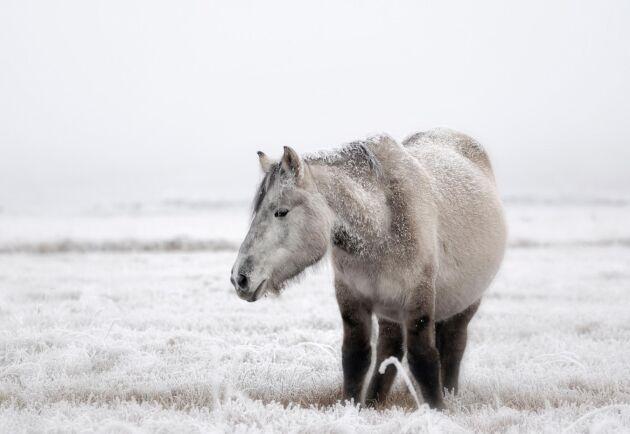 Jakutponny i byn Ojmjakon i delrepubliken Sacha (som tidigare hette Jakutien) i östra Sibirien. I detta område levde den utdöda Lenskajahästen, men de skiljer sig genetiskt från den vilda jakutponnyn.