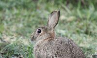 Får räddade kaniner undan översvämning