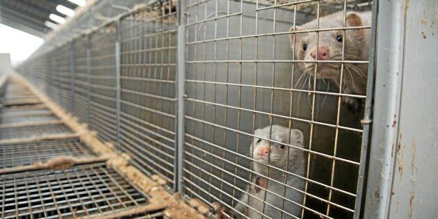 Ledande aktivist åtalas för aktion mot minkgård