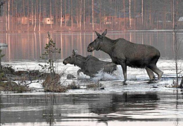 Två älgar på väg att gå i land efter att ha passerat Ångermanälven.