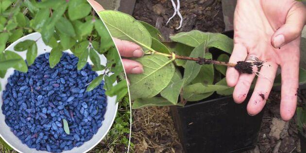 Blåbärstry: Så tar du sticklingar av den nya innebusken
