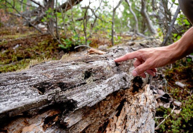 Många olika skalbaggsarter gynnas när döda träd får ligga kvar i skogen.