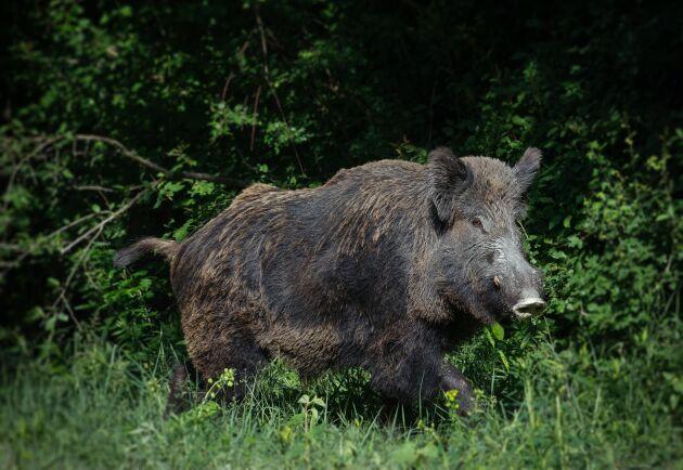 Den svenska vildsvinstammen orsakar skador för över en miljard kronor varje år bara inom jordbruket, enligt SLU.