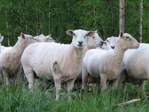 Finullsfår ger finfibrig, silkig och glansig ull. Används också till köttproduktion. På bilden ses korsningar med finull.