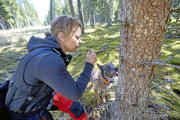 På jakt efter skadegörare. Med hjälp av barkborrehunden Aska hjälper Annette Johansson skogsägare att hitta träd som angripits av barkborrarna. Skadeinsekterna använder sig av doftsignaler som aska kan söka upp.