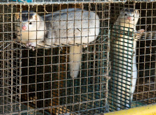 Uppfödning av pälsdjur kommer att vara förbjudet i Norge från och med februari 2025 och inga nya verksamheter får startas.