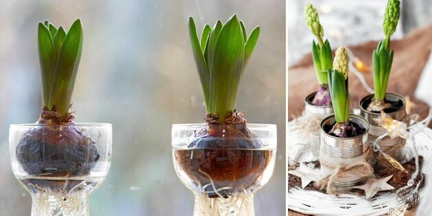 Så sköter du din hyacint – tre smarta tips!