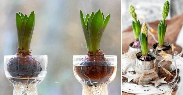 Hur ska man sköta hyacinten så den överlever julen? Följ våra tips och få hyacinten att klara sig lääänge.