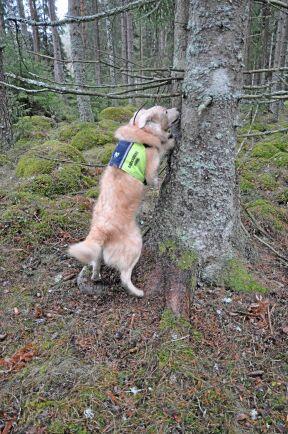Barkborrehund Lias markerar mot angripet träd.