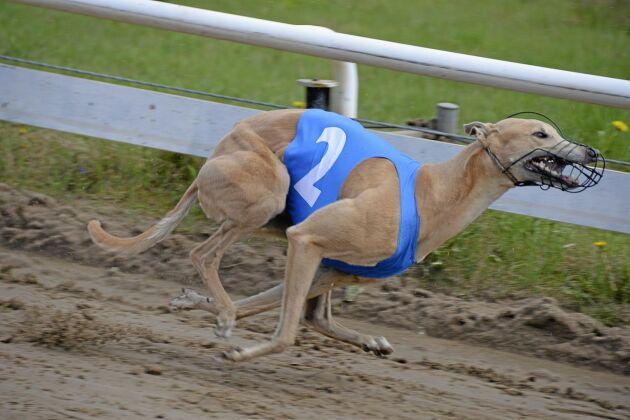 Byggd för fart. En greyhound på tävlingsbanan.