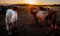 Fyra skurna hästar avlivade efter attacker