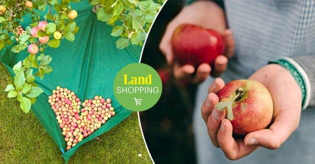 Istället för att falla ned på marken så landar frukten mjukt i nätet som är placerat under träden.