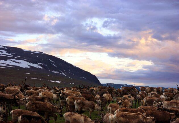 Det är av omsorg om de betande renarna som samebyn drivit frågan om bestämmanderätt mot staten.
