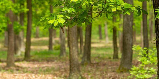 Skadliga sjukdomar sprider sig – allvarligt läge för svenska löv- och barrträd