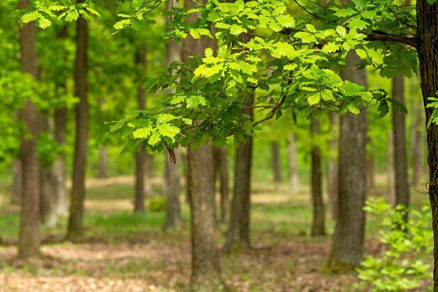 Läget är bekymmersamt för bland annat den svenska eken som drabbats av nya och väldigt aktiva sjukdomar.