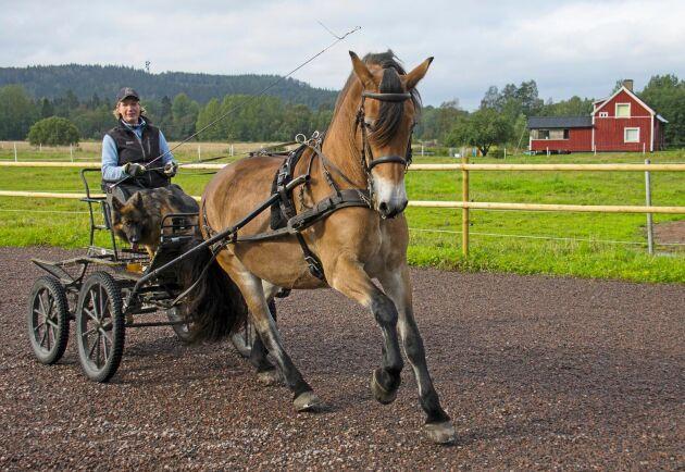 Karin Söderqvist och hennes Lukas, nordsvensken som drar timmer hemma på gården men dansar lika lätt som ett halvblod framför vagnen.
