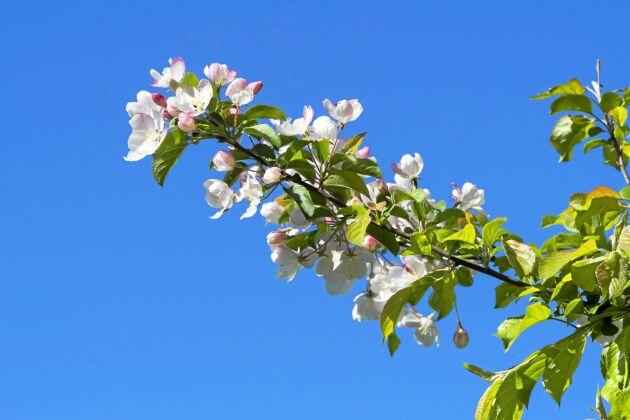 Äppelblom. Ympad gren i blomsterskrud.