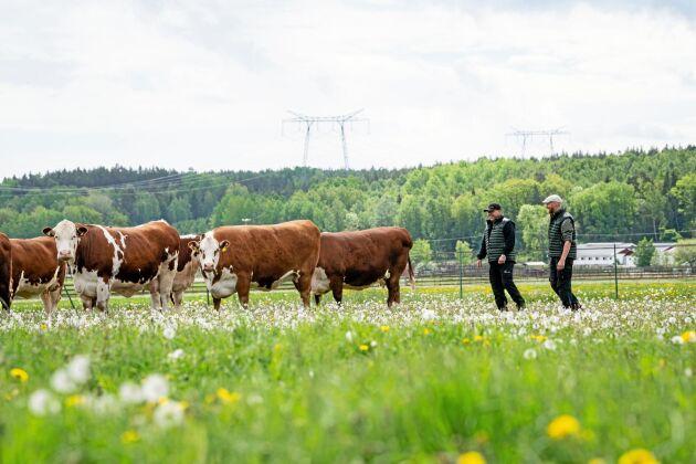 På Menhammar finns ett femtiotal hereforddjur. Köttet säljs till en närliggande restaurang.