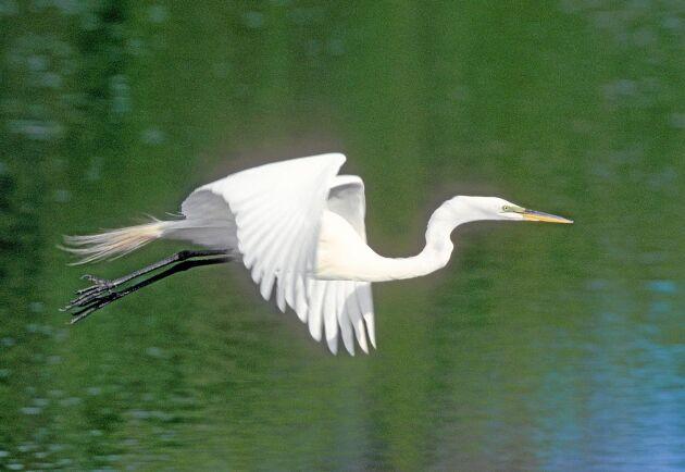 Det ståtliga ägretthägern är en av de fågelarter som nyligen etablerats sig i Sverige.