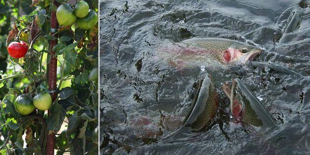 Fisk och grönsaker odlas ihop - på landbacken