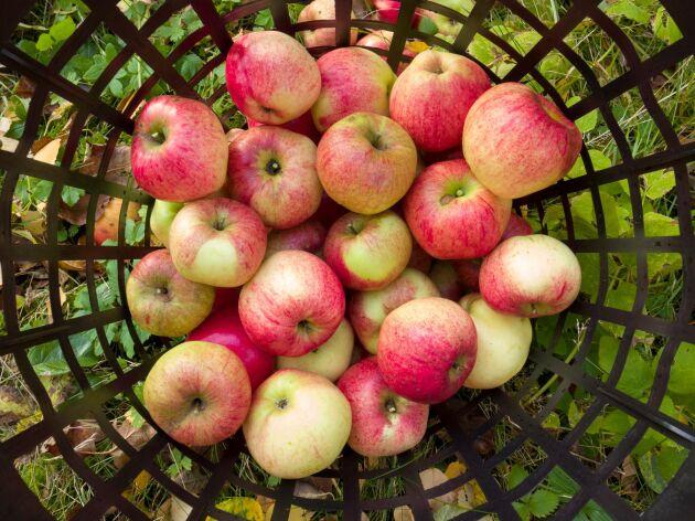 Låt dina äpplen komma till nytta i stället för att låta dem ruttna i trädgården.