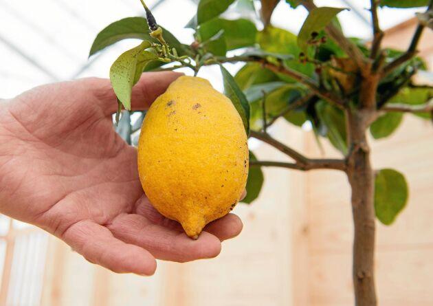 Inne i växthuset råder Medelhavsklimat nästan året om. Så familjen har lyxen av att kunna skörda egna citroner.