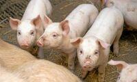 Brexit bekymmer för brittiska grisproducenter