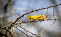 Corona bromsar bekämpning av gräshoppor