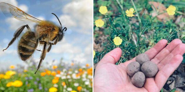 Locka bin och humlor till trädgården med fiffiga fröbomber